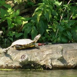 Red-eared slider along the Stará Dyje River
